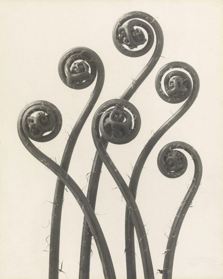 "Karl Blossfeldt, ""Adiantum pedatum. Maidenhair fern,"" 1926, courtesy of Karl Blossfeldt Archive"